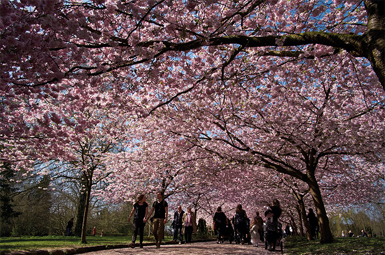 Bispebjerg Cemetary, cherry trees